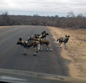 The Talamati Wild Dog pack.