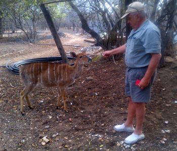 Nyala are so hungry that they accept a leafy treat from my hand..