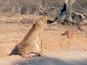 Female Cheetah relaxing near road.