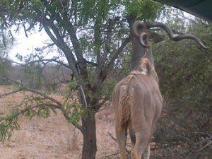 Beautiful spiral horns of Kudu bull.