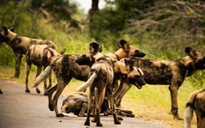 Brilliant shot of Wild Dog pack on the road.