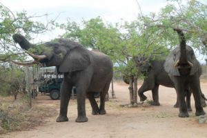 Elephants eating Marula leaves in Tremisana car park.