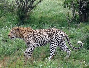 Big male leopard near Orpen.
