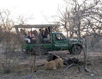 Lion eating buffalo less than 100 metres from Tremisana Lodge