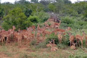 The veld is alive with the sound of impala.
