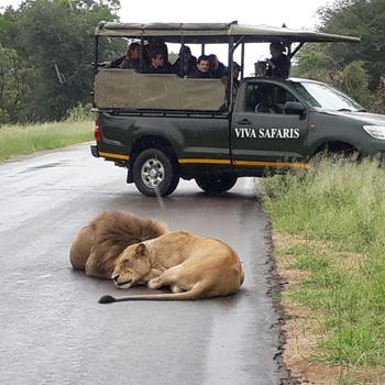 Lions near my vehicle.