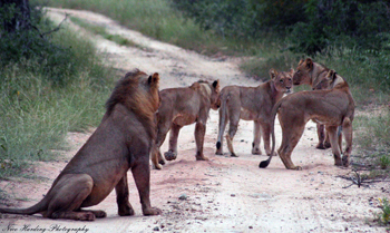 Pride of lions on the road near Tremisana Lodge.