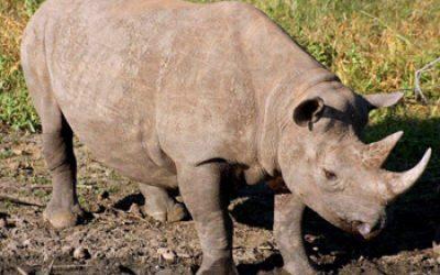 Impressive shot of Black Rhino.