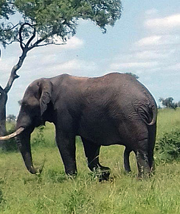 Elephant near Tremisana Lodge.