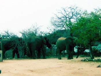 Elephants outside Tremisana Lodge entrance.