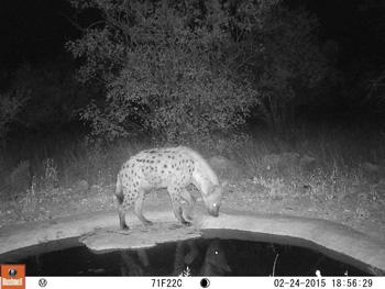 Spotted Hyena shot taken by Camera Trap at Marula Boma waterhole.