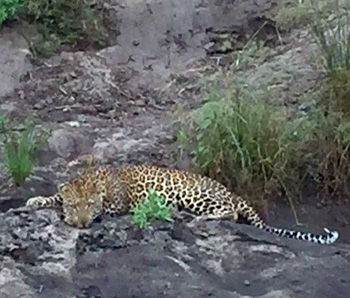 Leopard on river bed.