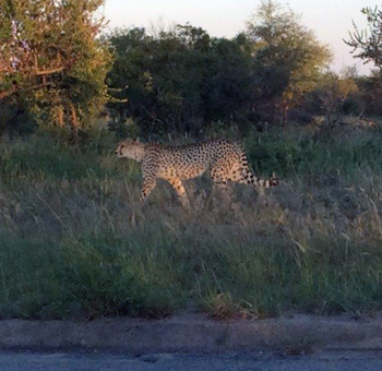Cheetah next to the road at Tremisana.