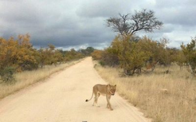 Lioness right in front of Rex's Landcruiser.