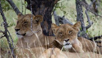 Lionesses near Orpen.