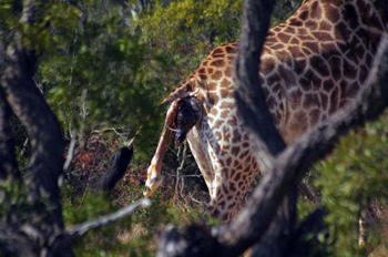 Giraffe giving birth.