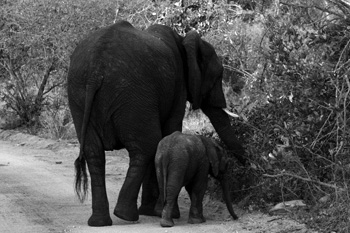 Newborn baby elephant and mother.