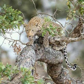 Leopard on Leadwood branch.