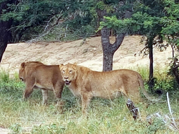 Lions are now seen regularly near Marc's Treehouse Lodge.