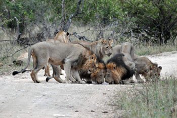 Lions on the road.