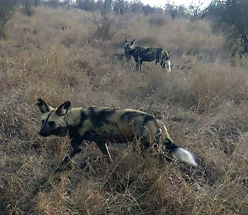 Wild dogs on the move.