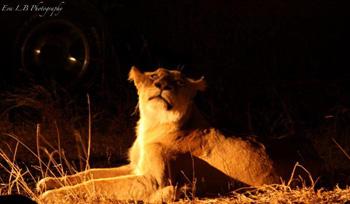 Beautiful photo of spotlit lioness.