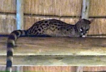 Small-spotted genet watching guests at dinner.