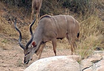 Beautiful Kudu bull.