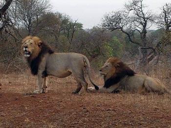 Beautiful males of the Phelwane pride.
