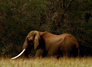 Big Tusker near Satara.