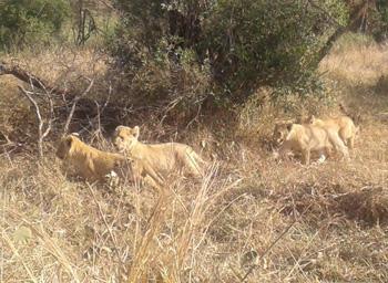 Beautiful lion cubs.