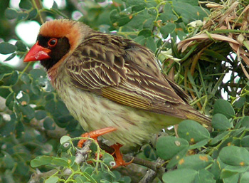 Red-billed Quelea. Photo by Bernard DUPONT from FRANCE