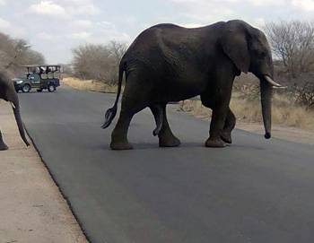 A Viva vehicle keeps a respectful distance from elephant herd crossing the road.