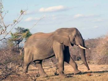 Elephant near Tremisana Lodge.