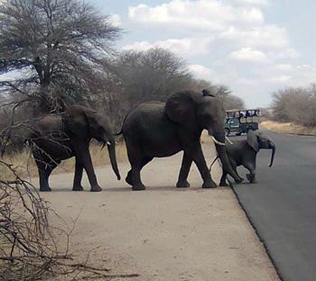 Breeding herd of elephants.