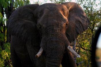 Close up of Elephant Bull.
