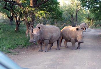 Great shot of White Rhinos.