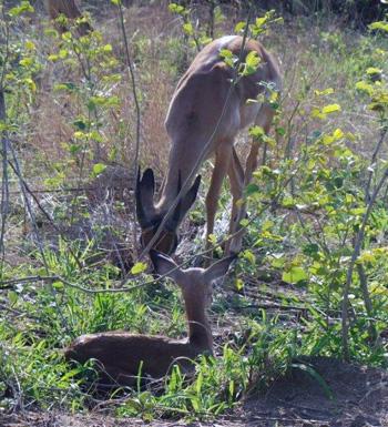 New born impala lamb.