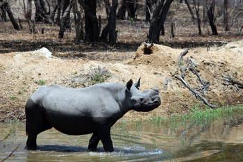 Coffee, the Black Rhino, in the dam at Masango Camp.