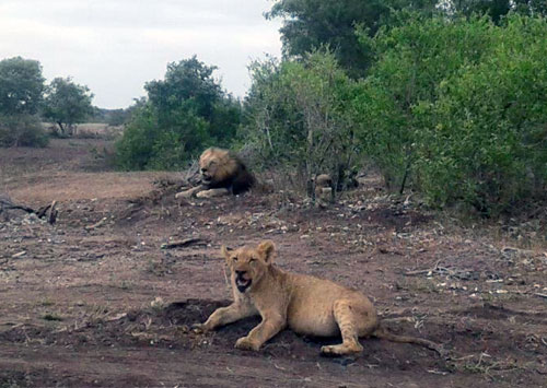 Lion and lioness on very dry veld.