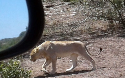 Brilliant shot of young White Lion