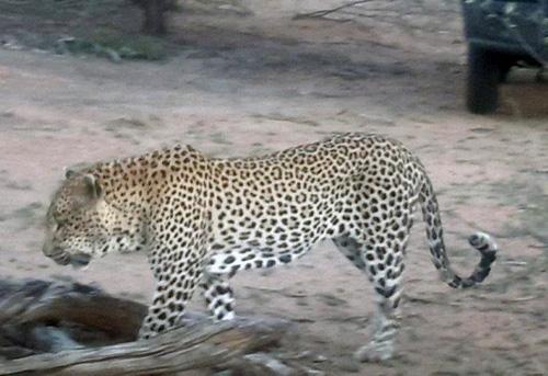 Unbelievably close leopard.