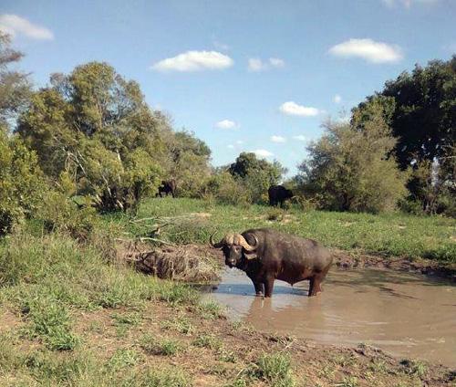 Buffalo bull seen on Bush walk along Olifants River.