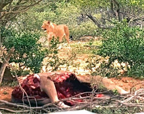 Lioness with Kudu kill.