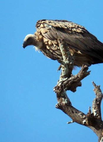 White-backed Vulture at a recent kill at Tremisana Lodge.