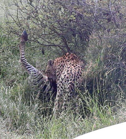 Cheetah with zebra kill.