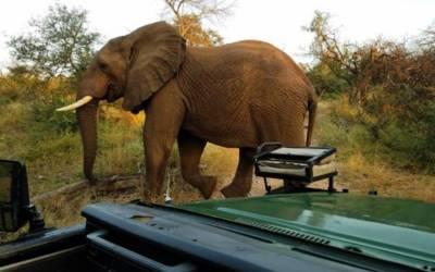 Elephant close to our safari vehicle.