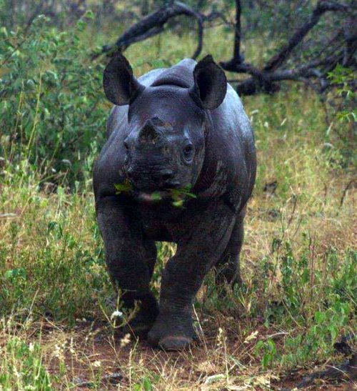 Black Rhino calf.