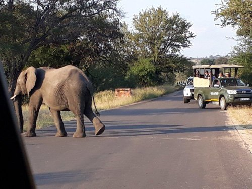 Elephant crossing road close to Viva vehicle.