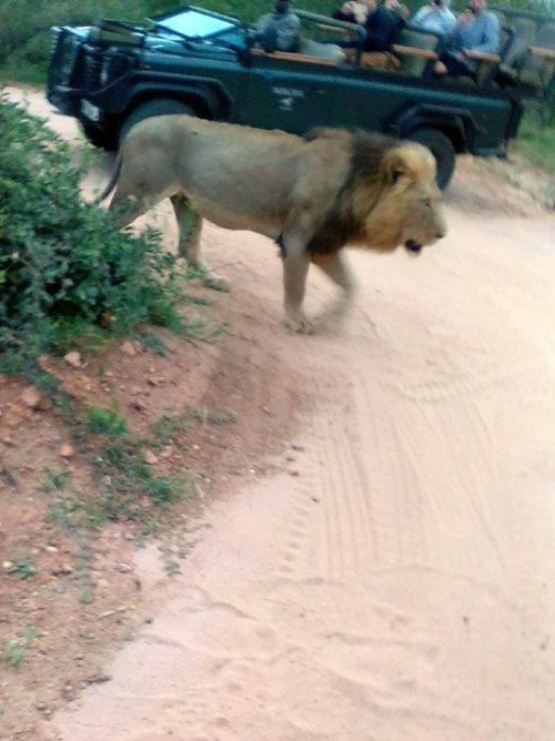 Lion on a casual stroll only meters from Viva vehicle.